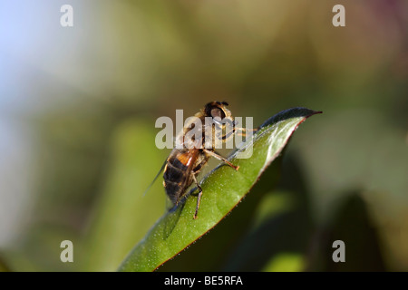 Fly on a leaf - Stock Photo