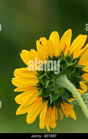 Close-up of the Back of a Sunflower Head - Stock Photo