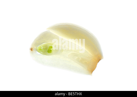 Slice of garlic with germ bud - Stock Photo