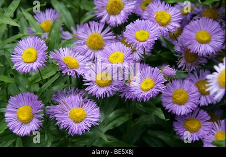 Seaside Fleabane or Seaside Daisy, Erigeron glaucus, Asteraceae. UK, Europe