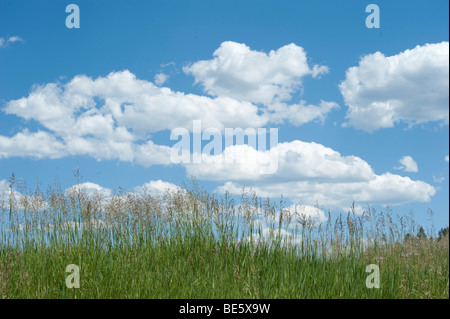 Cumulus clouds in clear blue sky with grass in foreground - Stock Photo