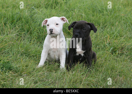 2 Staffordshire Bull Terrier puppies, 6 weeks old, sitting side by side on the lawn - Stock Photo