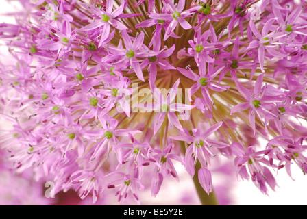 Decorative Allium flower head - Stock Photo