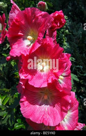 Red Common Hollyhock (Alcea rosea) (Althaea rosea) - Stock Photo