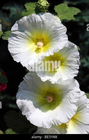 White Common Hollyhock (Alcea rosea) (Althaea rosea) - Stock Photo