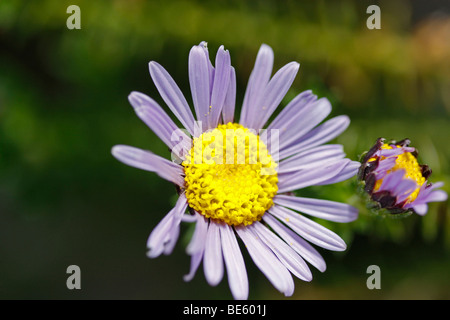Blue and green flower with yellow centre stock photo 309901353 alamy swan river daisy blue flower yellow centre wild aster felicia aethiopica stock photo mightylinksfo