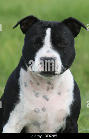 Staffordshire Bull Terrier female, portrait - Stock Photo