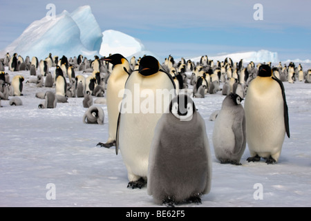 Breeding colony of Emperor Penguins at Snow Hill Island in Antarctica, fluffy adorable babies, icebergs, blue sky - Stock Photo