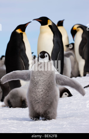 Breeding colony of Emperor Penguins at Snow Hill Island in Antarctica, fluffy baby penguin wings up adult penguins - Stock Photo