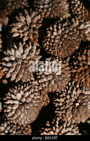 Dried Flower Heads On A Market Stall In Swaziland, Southern Africa - Stock Photo