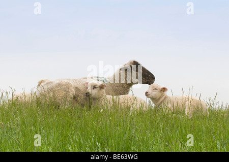 Sheep and two lambs lying on the dyke, Nationalpark Niedersaechsisches Wattenmeer, Lower Saxony Wadden Sea National - Stock Photo