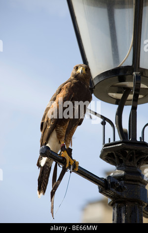 A photograph of a Hawk perched on a lamp post in Trafalgar Square - Stock Photo