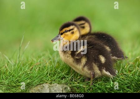 Mallard Duck (Anas platyrhynchos), two ducklings in grass. - Stock Photo