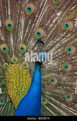 Common Peafowl, Indian Peacock (Pavo cristatus), male displaying. - Stock Photo