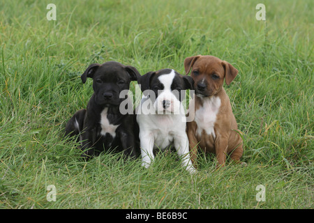 3 Staffordshire Bull Terrier puppies, 6 weeks old, sitting side by side on the lawn - Stock Photo
