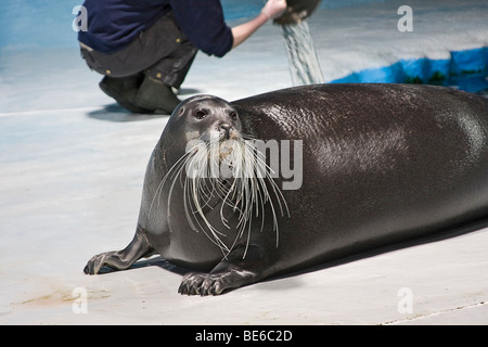 Bearded seal in The Polaria museum and aquarium in Tromso, Norway - Stock Photo