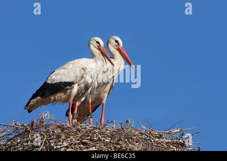 European White Stork (Ciconia ciconia), pair standing on nest. - Stock Photo