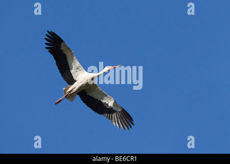 European White Stork (Ciconia ciconia), adult in flight. - Stock Photo
