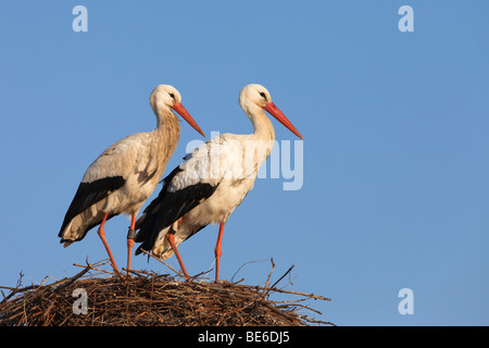 White Stork (Ciconia ciconia), pair standing on nest. - Stock Photo