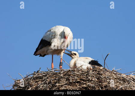 European White Stork (Ciconia ciconia). Adult with chick on nest. - Stock Photo