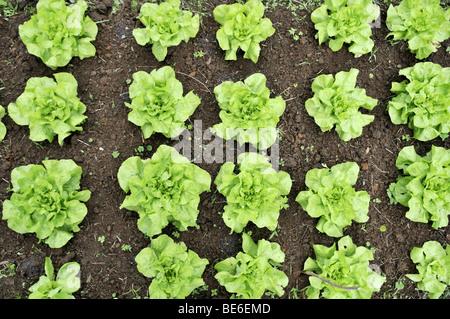Bed with lettuce, organic farming, Petropolis, Rio de Janeiro, Brazil, South America - Stock Photo