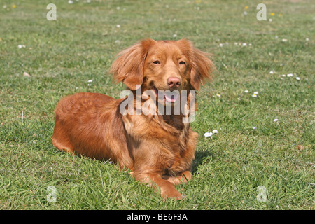 Nova Scotia Duck Tolling Retriever, lying on a meadow - Stock Photo