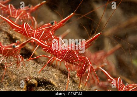 Hinge beak prawn or Durban shrimp (Rhynchocinetes durbanensis), Indonesia, Southeast Asia - Stock Photo