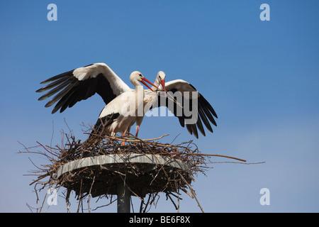 European White Stork (Ciconia ciconia), pair building a nest. - Stock Photo