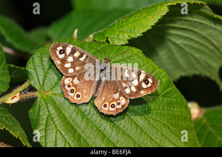 Speckled Wood (Pararge aegeria), butterfly, sitting on a leaf - Stock Photo