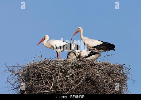European White Stork (Ciconia ciconia). Pair with chicks on nest. - Stock Photo