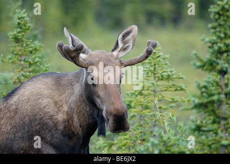 Young bull moose Alces alces, Denali National Park, Alaska - Stock Photo