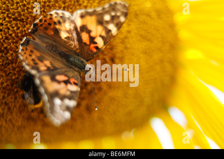 Painted Lady (Vanessa cardui Syn.: Cynthia cardui) and bumble bee on sunflower - Stock Photo