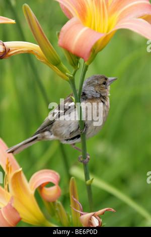 Female Chaffinch, Fringilla coelebs, Fringillidae, Passeriformes aka Spink, Scobby, Shellapple, Wetbird, or Roberd. - Stock Photo