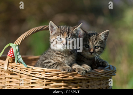 Two domestic cats, kittens in a wicker basket - Stock Photo