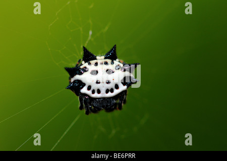 A crab-like spiny orb weaver spider. - Stock Photo