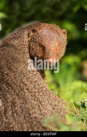 Ruddy Mongoose in Yala National Park Sri Lanka - Stock Photo