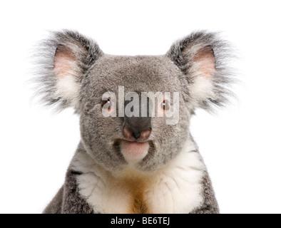 Portrait of male Koala bear, Phascolarctos cinereus, 3 years old, in front of white background, studio shot - Stock Photo