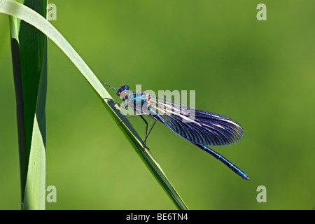 Male Banded Blackwing, Banded Demoiselle (Calopteryx splendens), Banded Agrion (Agrion splendens) damselfly - Stock Photo