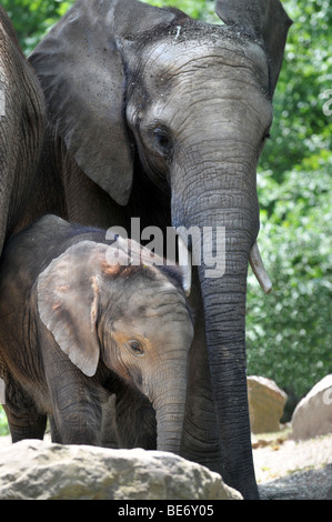 Mother elephant with calf - Stock Photo