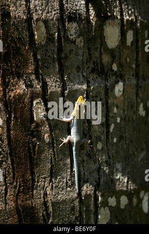Dwarf Yellow Head Gecko - Lygodactylus luteopicturatus, Mombasa, Kenya, Africa - Stock Photo