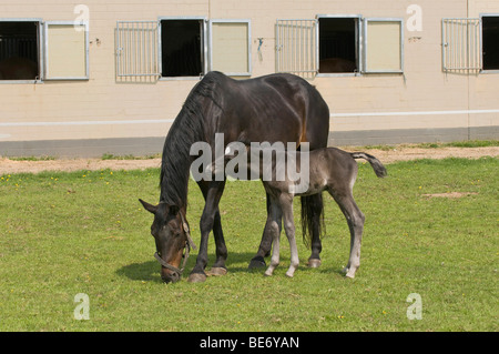Mare with 2 days old foal at pasture in front of the horse barn, foals teasing the neck of the mare - Stock Photo