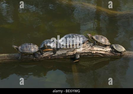 Four Yellow-bellied Slider Turtles (Trachemys scripta scripta) and a European Pond Terrapin (Emys orbicularis) basking - Stock Photo