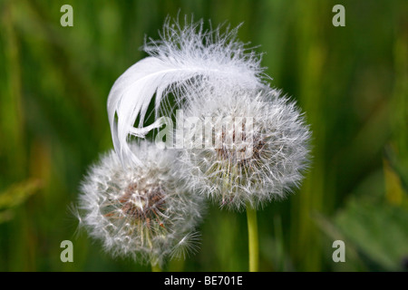 White mute swan feather on Common Dandelion clocks, blowballs (Taraxacum officinale) - Stock Photo