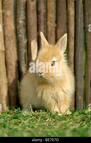 Young Dwarf Rabbit, about 4 weeks old, sitting in front of a wooden fence - Stock Photo