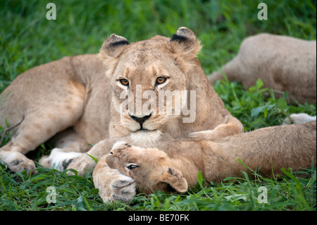 Lion playing with cub (Panthero leo), Kruger National Park, South Africa