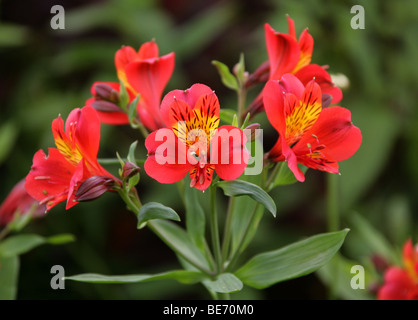 Peruvian Lily or Lily of the Incas (Alstroemeria 'Red Beauty', Cultivar), Alstroemeriaceae - Stock Photo