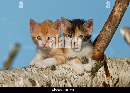 Two domestic cats, kittens climbing on a birch log - Stock Photo