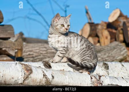 Domestic cat, 14 weeks, sitting - Stock Photo