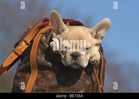 French Bulldog, 12 weeks, in a rucksack, sleeping - Stock Photo