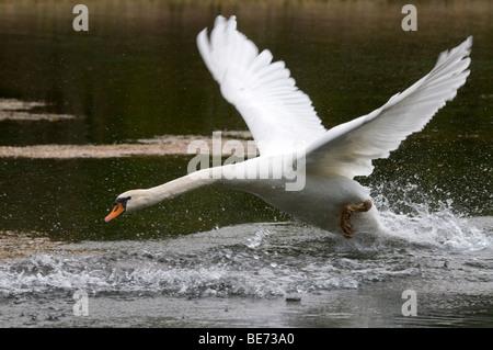 Mute Swan (Cygnus olor) - Stock Photo
